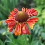 Helenium 'Moerheim  Beauty' (Helenium autumnale (American Sneezeweed))