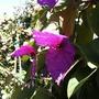 Dalechampia dioscoreifolia ~ Purple Wings, Costa Rican Butterfly Vine (Dalechampia dioscoreifolia ~ Purple Wings, Costa Rican Butterfly Vine)