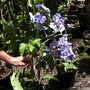 Solanum wendlandii - Costa Rican Nighshade Vine (Solanum wendlandii - Costa Rican Nighshade Vine)