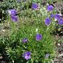 Campanula carpatica bellflowers (Campanula carpatica (Bellflower))