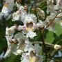 Catalpa tree flowers