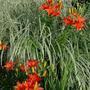 Lilies 'Gran Paradiso' (Lilium)