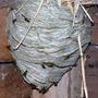 Wasp_nest_hopslade_2009_2