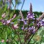 Verbena hastata 'Purple Spires' (Verbena hastata (Blue Vervain))