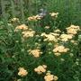 "Achillea (Achillea ""Summer Pastels"")"