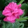 Dianthus_rose_joy_