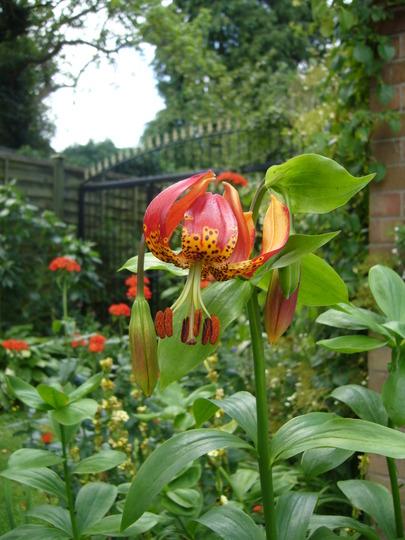 Lilium pardalinum giganteum (Lilium pardalinum giganteum)