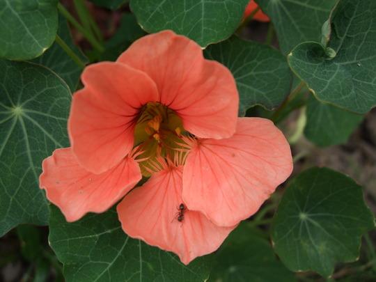 An Orange Nasturtium. (Stachys byzantina (Lambs' ears))