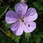 Geranium...unknown