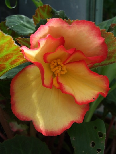 Begonia 'Candy Kisses' (Begonia)