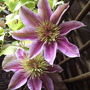 Clemjoesephineflowers