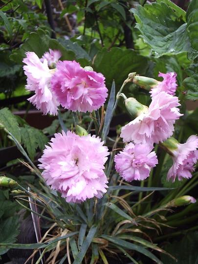 "Dwarf Dianthus ""Candy Floss"""
