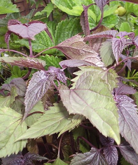 """Eupatorium rugosum """"Chocolate"""""""