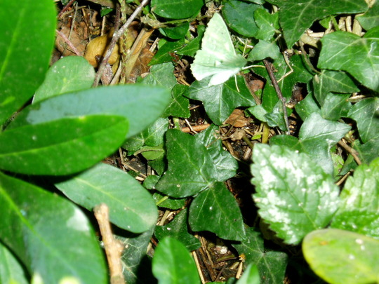 A Nice Green Moth In The Undergrowth