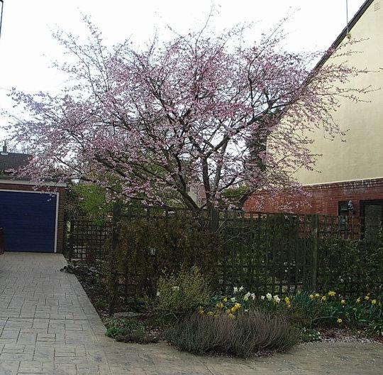 Prunus 'Accolade' (Prunus 'Accolade')