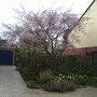 Prunus_accolade_