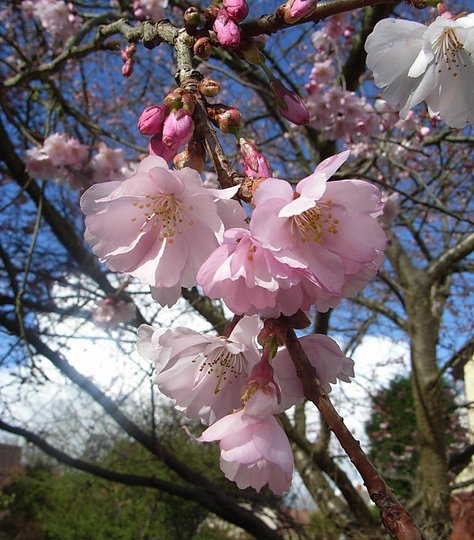 Prunus 'Accolade' - close-up (Prunus 'Accolade')