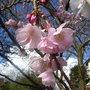 Prunus_accolade_close_up
