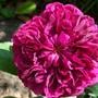 Old English Rose