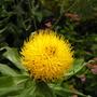 centaurea_macrocephala.jpg (Centaurea macrocephala (Great Golden Knapweed))