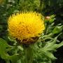 centaurea_macrocephala2.jpg (Centaurea macrocephala (Great Golden Knapweed))