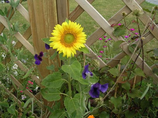 Sunflower key lime pie (sunflower)