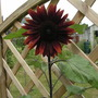 sunflower claret