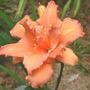 """Daylily """"Catherine Hawn"""" (Hemerocallis)"""