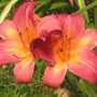 "Daylily ""Cherry Cheeks"" (Hemerocallis)"