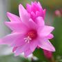 Christamas Cactus Pink