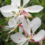 White Gaura Closer