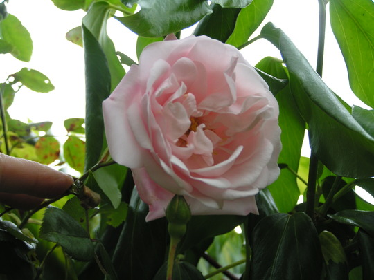 Rosa New Dawn (Rosa 'New Dawn')