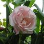 Rosa_new_dawn