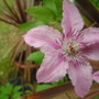 Clematis_hagly_hybrid_i_think