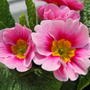 Pink_yellow_primula