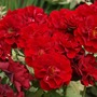 Rose_ruby_celebration_flower_detail_2