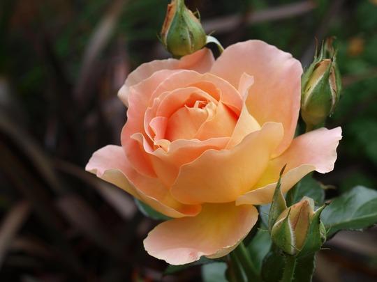 Rose 'Alpine Sunset' flower detail (Rosa Hybrid Tea 'Alpine Sunset')
