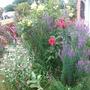 Roses in front garden