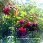 Fuchsia_dollar_princess_in_hanging_basket_2009_07_06