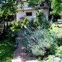 Up the path (Lavandula angustifolia (Lavender))