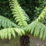 A garden flower photo (Dicksonia antarctica (Soft tree fern))