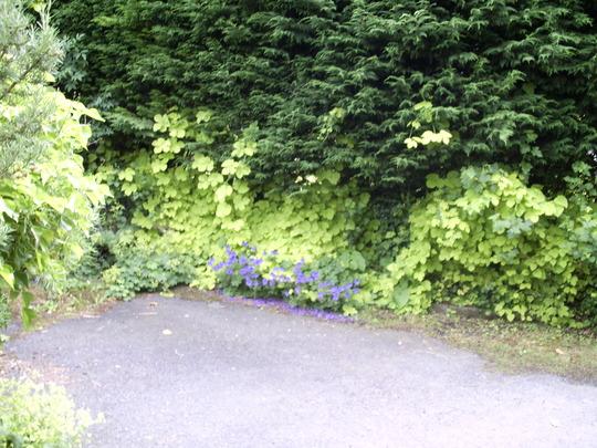 golden hop and geranium  johnson's blue (humulus lupus aureus)