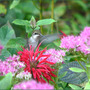 Something's Not Right (Monarda fistulosa (Beebalm))