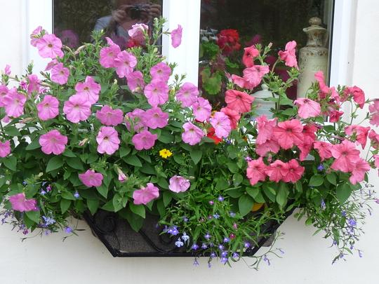 Window box (Petunia surfinia)
