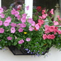 Window box (Petunia surfinia)