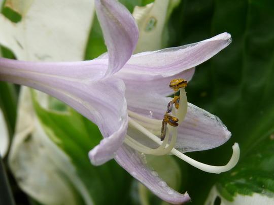 Hosta bell (Hosta fortunei (Plantain lily))