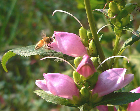 Honey Bee Entering Chelone (Chelone)