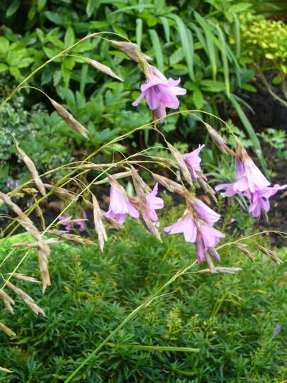 Dierma (Dierama pulcherrimum (Angel's fishing rod))