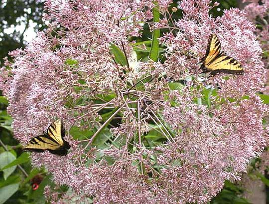 Joe-pye Flowerhead with Tiger Swallowtails (Eupatorium maculatum)