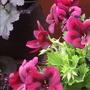 """Regal Pelargonium """"Chocolate"""""""